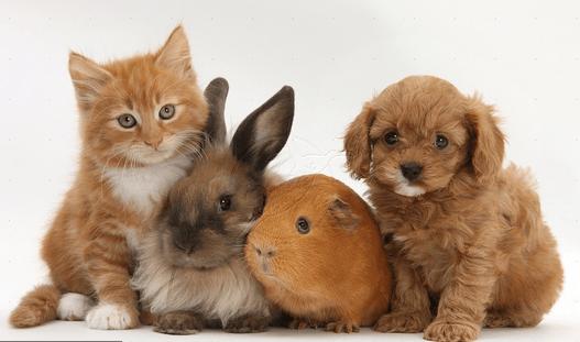 Кто более аллергенен: кошки или собаки?